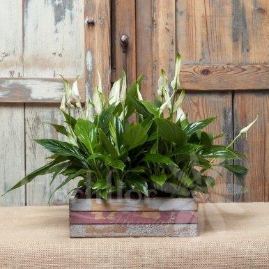 caja madera plantas spatifilium  hortiflor floristas 1