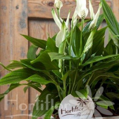 caja madera plantas spatifilium hortiflor floristas 2