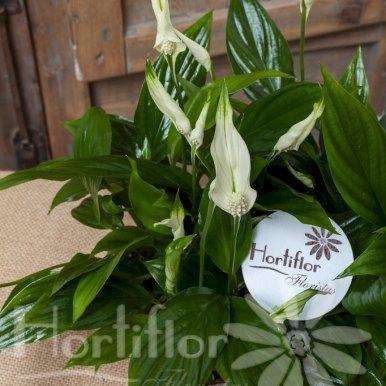 caja madera plantas spatifilium hortiflor floristas 3