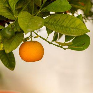 fruto citrus mitis calamondin